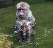 The swimming macaques