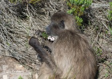 Baboon feeding on Adenandra villosa_3159