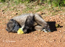 Baboon feeding on Cape Sugarbush_3168