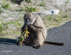 Baboon feeding on Carpobrotus_3152