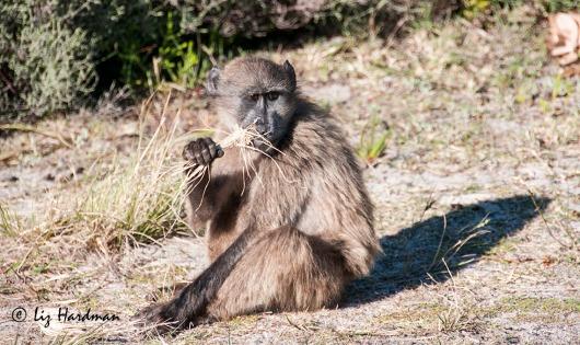 Baboon foraing_grass2941