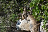 Baboons checking out the leucodendron_3106