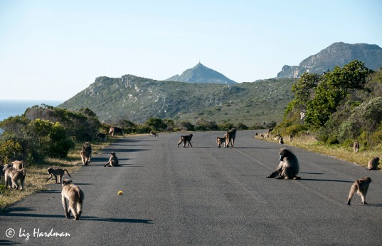 Baboons foraging_2920