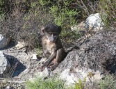 Baby baboon nibbles on grass shoots_3077
