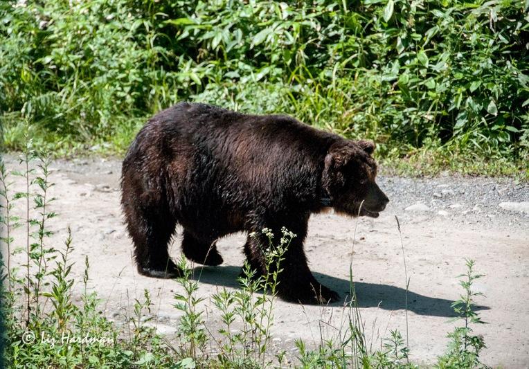 Ezo Higuma,  the Japanese Brown Bear of Hokkaido.