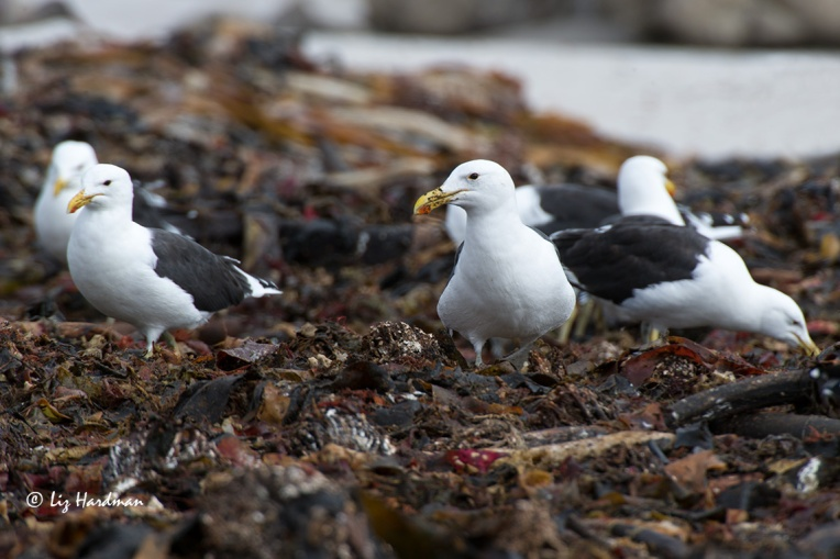Kelp-line-snacking
