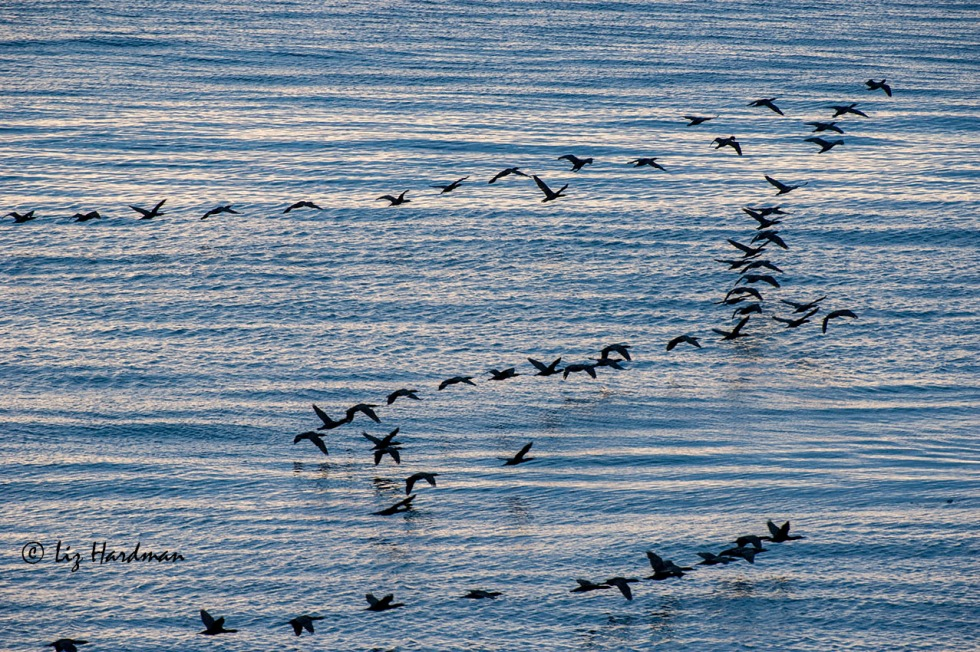 As much a part of the early morning cuppa, is the sight of Cape Cormorants flying past and out to sea.