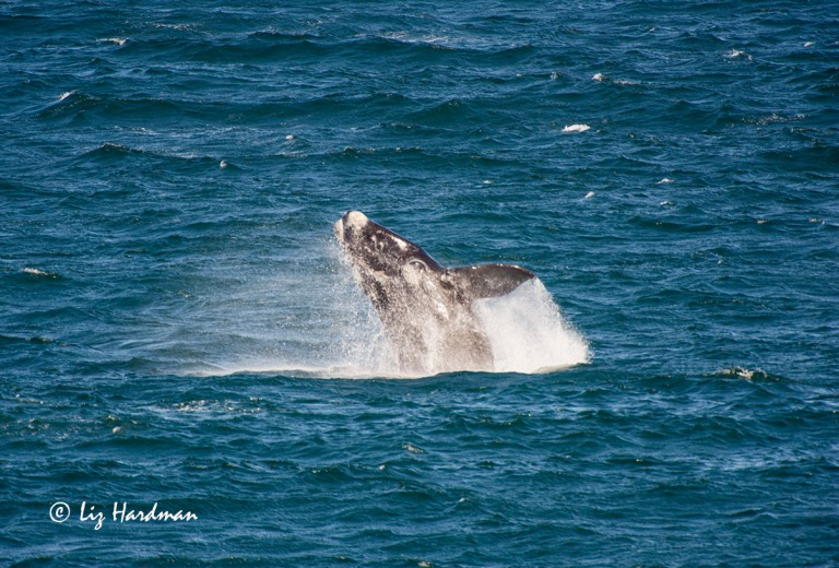 Southern Right whale calf