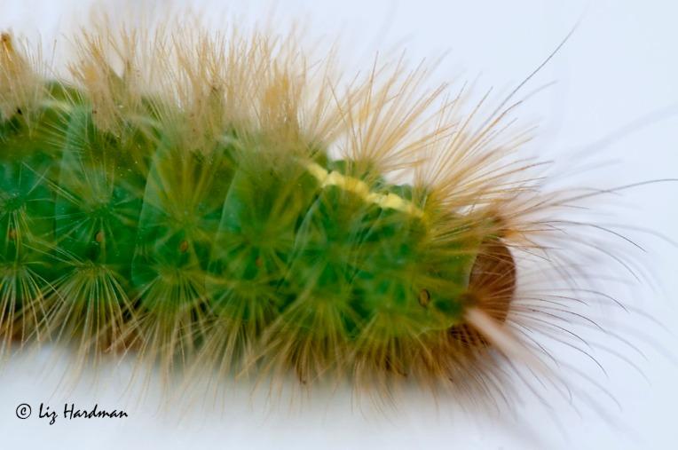 Green bristles