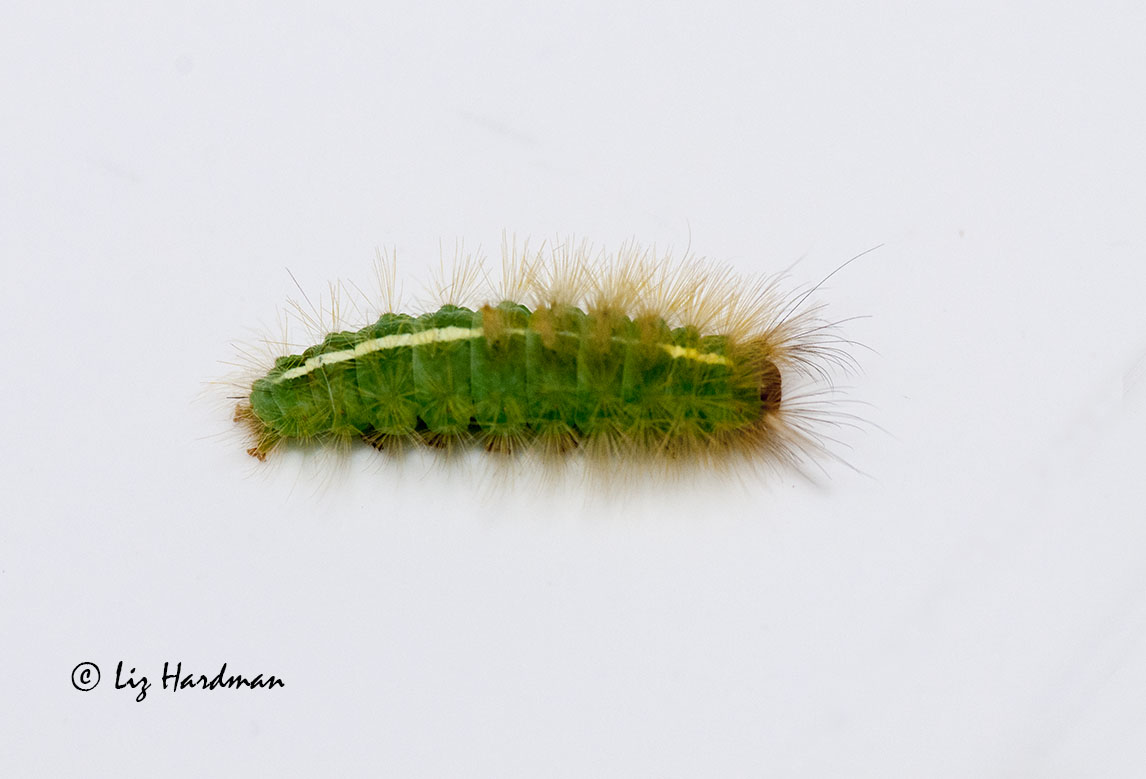Love green hairy caterpillar
