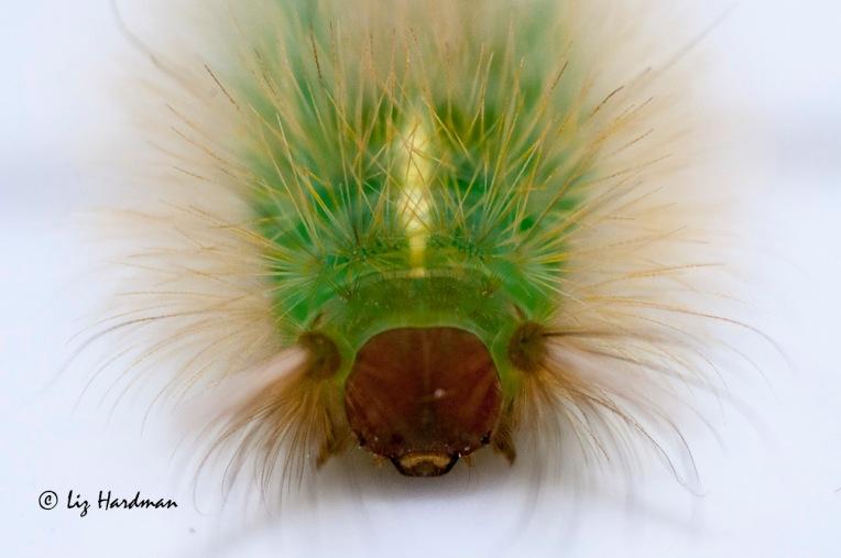 Hairy caterpillars
