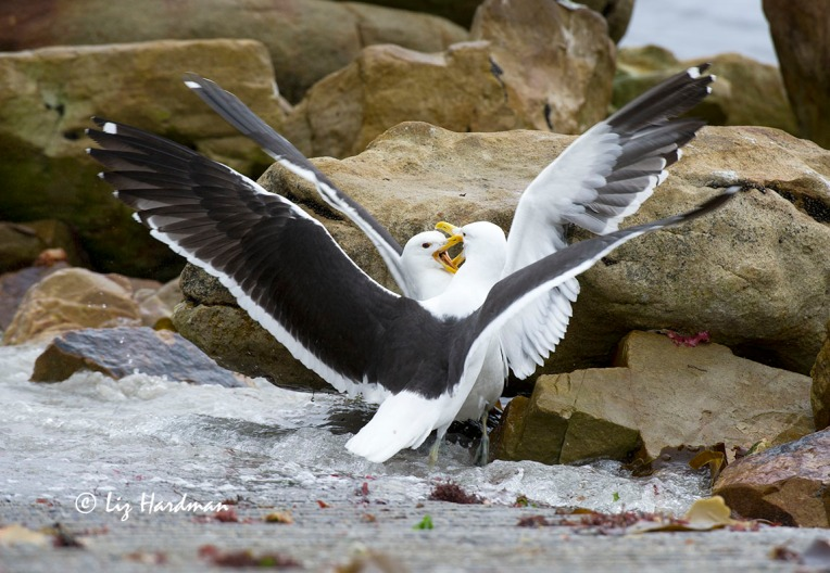 Two Southern Black-backed gulls square up for a game of beak pulling.