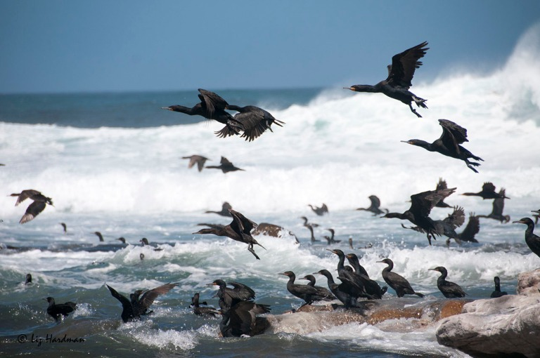 Cape Cormorants