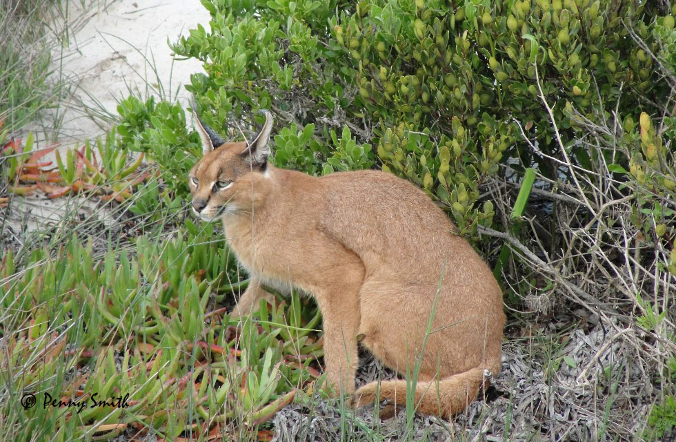 Caracal Cat Pet For Sale Uk