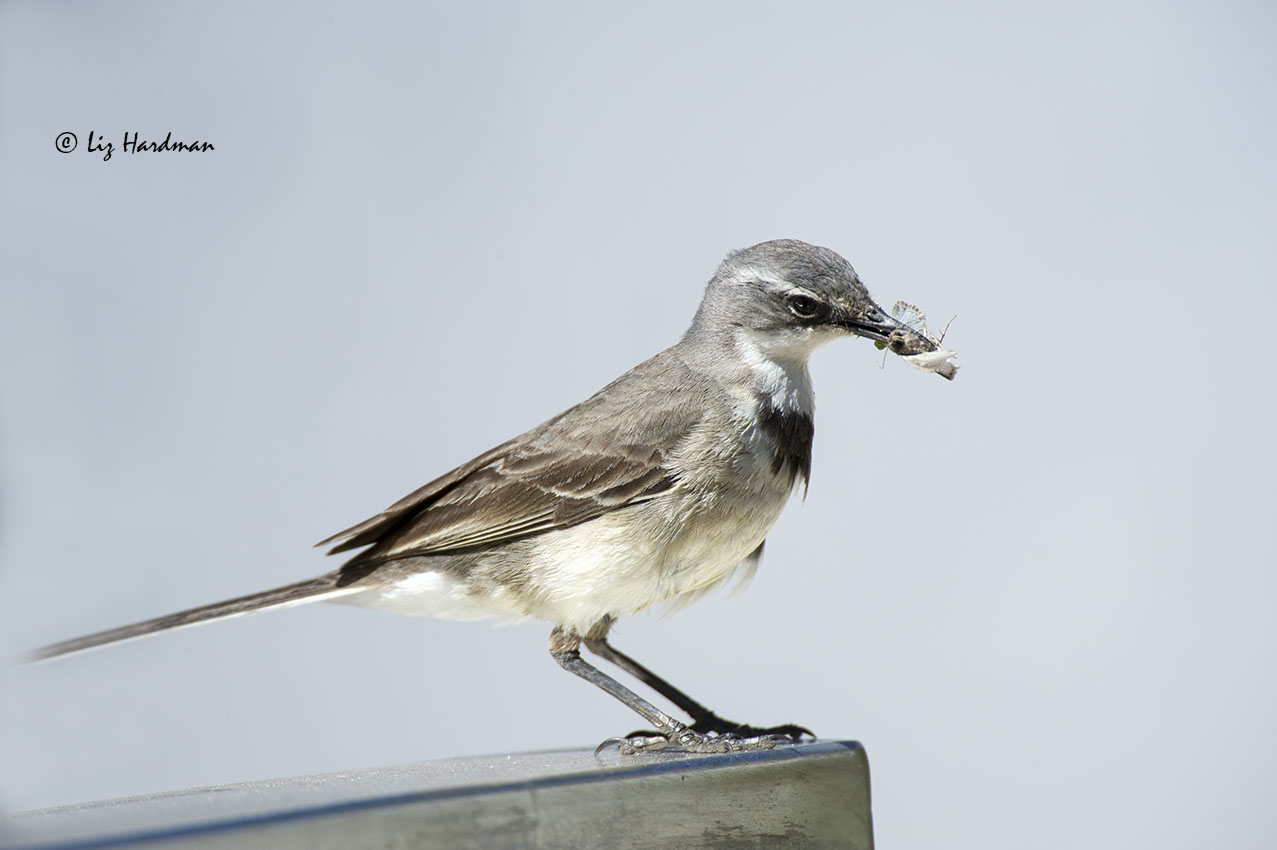 Cape Wagtail Fledglings | Nature on the Edge