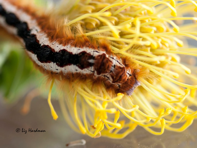 Cape lappet caterpillar in pincushion head