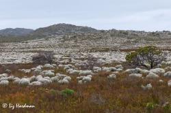 The fields of Everlasting - Syncarpha vestita carpet the veld in white.