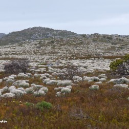 The fields of Everlasting - Syncarpha vestita carpet the veld in white.