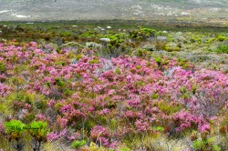Come January and the erica meadows bloom in pinks.