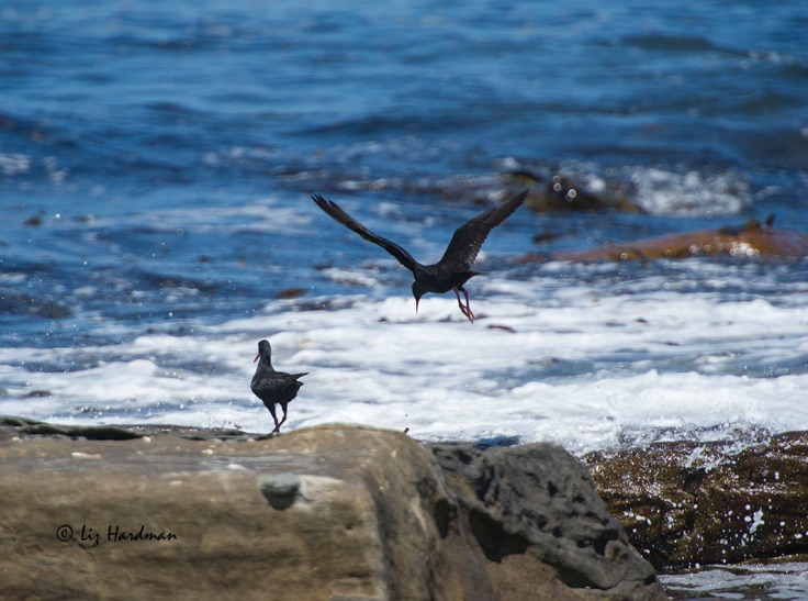 The birds forage for mussels, limpets and other molluscs along the intertidal zone.