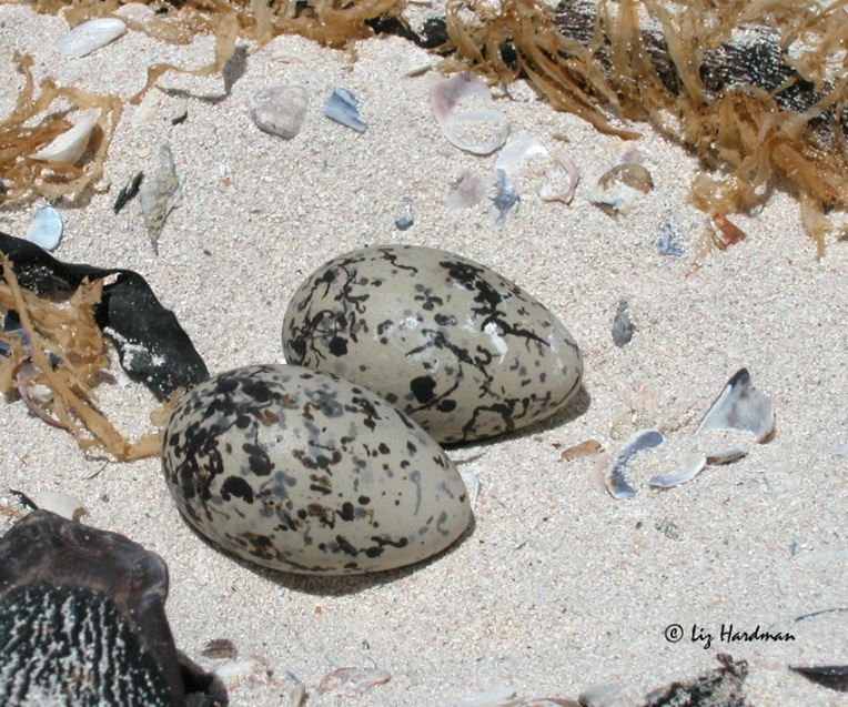 How fittingly the eggs are patterned in camouflage:  like dried filigreed kelp fronds.