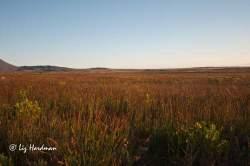 The restio plains cast a coppery sheen.