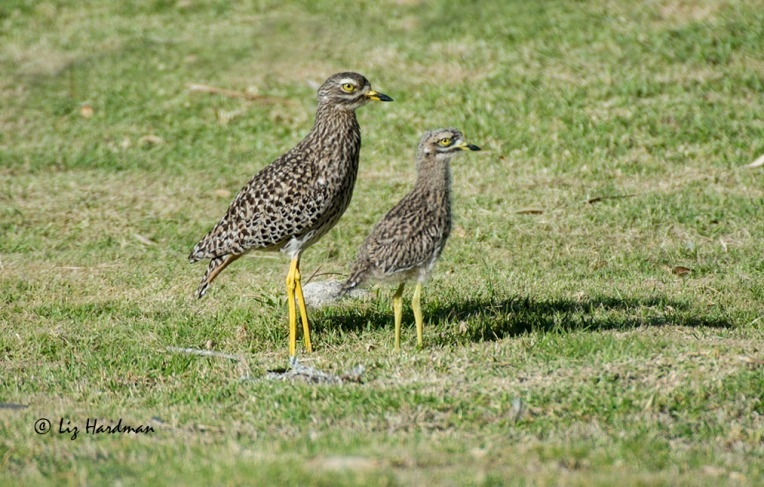 Thick knee chick_DSC9925