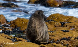 The males develop a 'cape' of thick fur, and here the fur has a sun-bleached appearance.