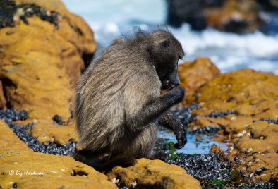 The alph-male is in fine shape, glossy coat, albeit a sunbleached, beach-bum look.