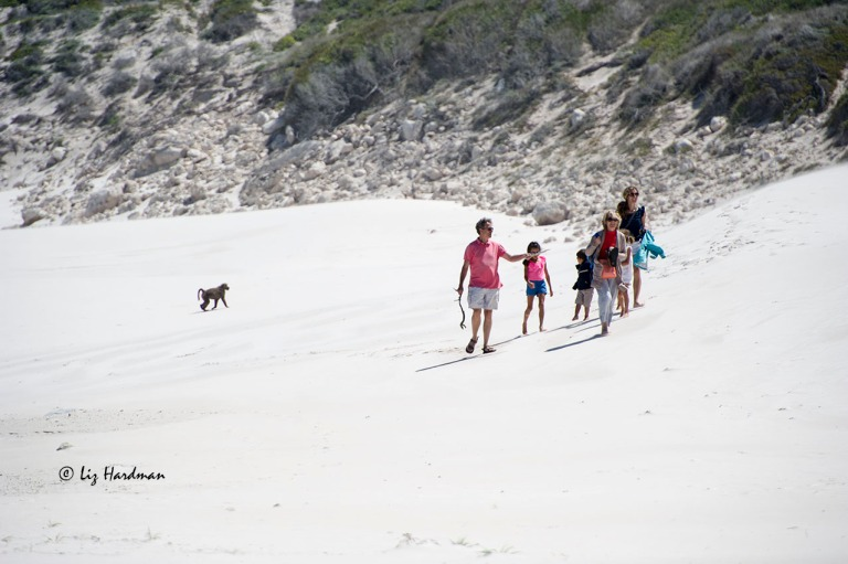 The baboons were happily foraging on the dune vegetation while family hike along the dunes.