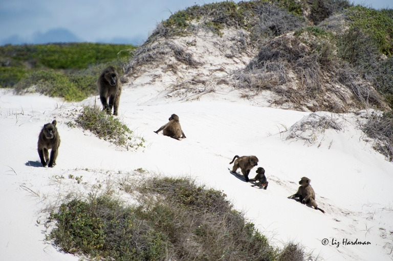 A small family of baboon are peacefully enjoying their habitat.