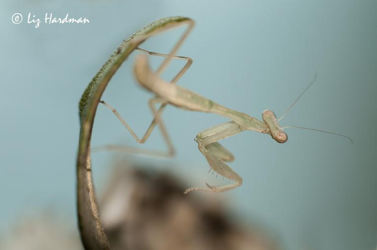 Praying-mantis_04