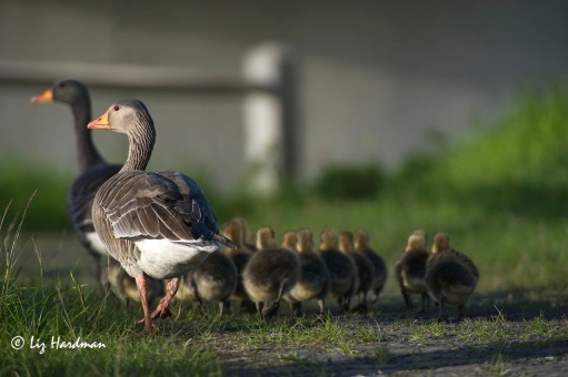 Greylag geese have large clutches of chicks.