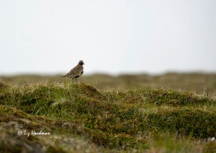 The golden plover is a common heathland bird, a migrant whose mournful piping is eagerly awaited as the harbinger of summer.