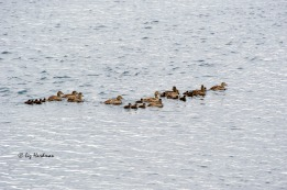 Broods of eider duck are a common sight.