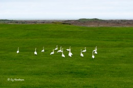 The honking swans pay great fanfare to greetings and hierachy displays.