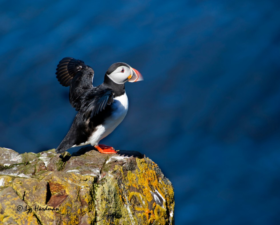 Millions of puffins come to breed in Iceland.  A most endearing creature.