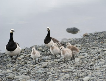 The barnacle geese have the cutest of chicks.