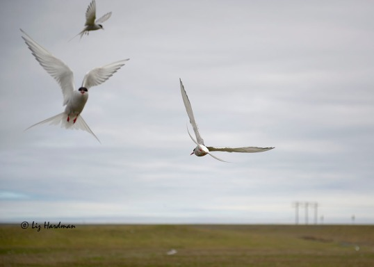 The Arctic terns are known for their aerial bombing, strafing interlopers in their breeding territories.