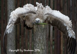 The wingspan is an impressive 2.6 meters.
