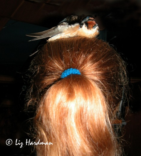 Swallows on Cilla's head 03