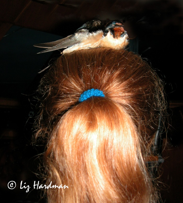 Swallows on Cilla's head 03