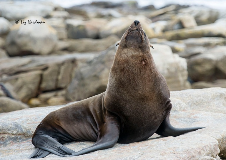 Cape fur seal_DSC3698