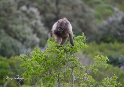 The lighter juvenile baboons can reach the highest branches.