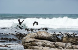 Cormorant lift off