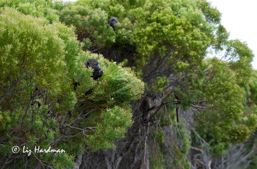 Foraging high in the Leucadendron coniferum trees.