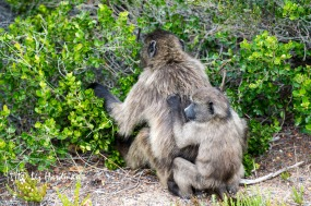 A juvenile clings to his mother while she picks Dune crowberries.