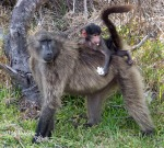 Waste toilet tissue picked up by baby baboon.
