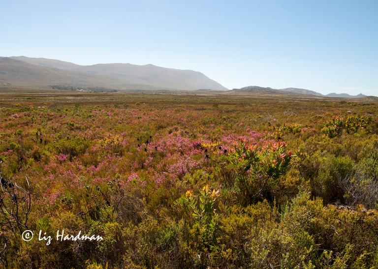Summer's Fynbos