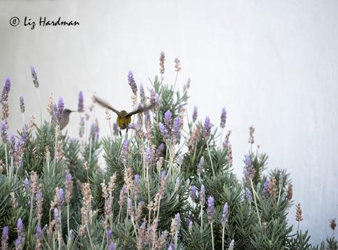 Nectar gathering - lavender